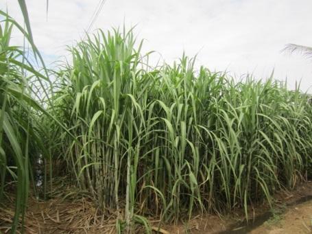 Mía dùng để sản xuất đường organic là giống mía không biến đổi gene, quá trình trồng và chăm sóc phải tuân thủ các qui định nghiêm ngặt về canh tác nông nghiệp hữu cơ