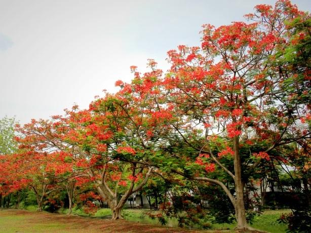 Rừng phượng đỏ là một trong những nét độc đáo của TTC Resort Premium - Dốc Lết