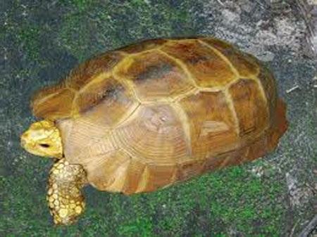 Rùa vàng (ảnh minh họa)