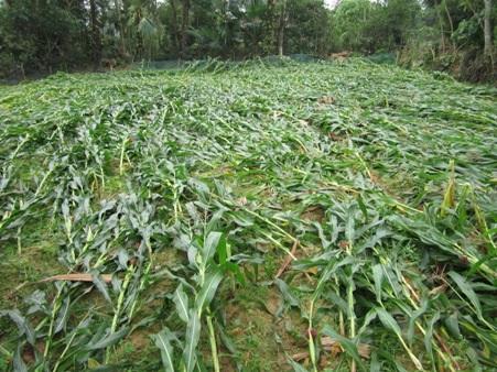 Nhiều diện tích ngô sắp đến kỳ thu hoạch đã bị đổ gãy hoàn toàn