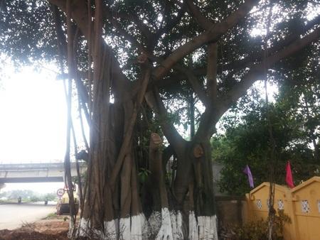 Cây đa cổ thụ, rợp bóng mát ở khu vực cổng nghĩa trang Võ Cường do cụ Chã trồng. (Ảnh: Chung Bằng)