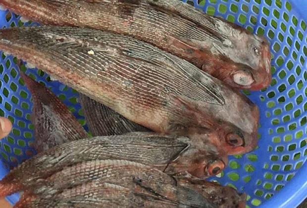 Cá tắc kè được đánh bắt ở một số vùng biển thuộc Nam Trung Bộ.