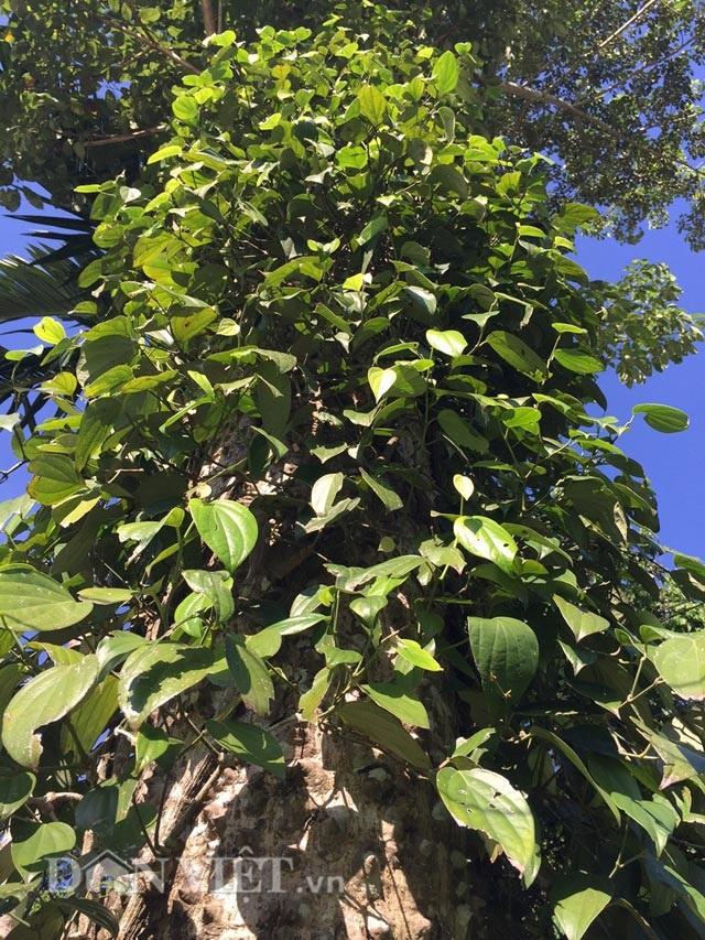Một cây tiêu mọc tự nhiên trên thân cây khác. (Ảnh:danviet)