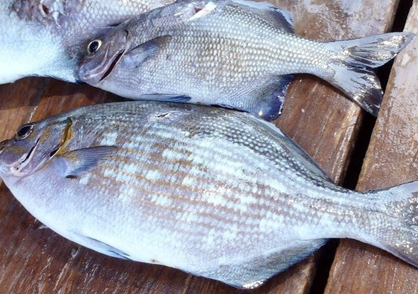 Cá tà ma cũng là món ăn không thể bỏ qua khi đến Quy Nhơn. (Ảnh: lysontour)