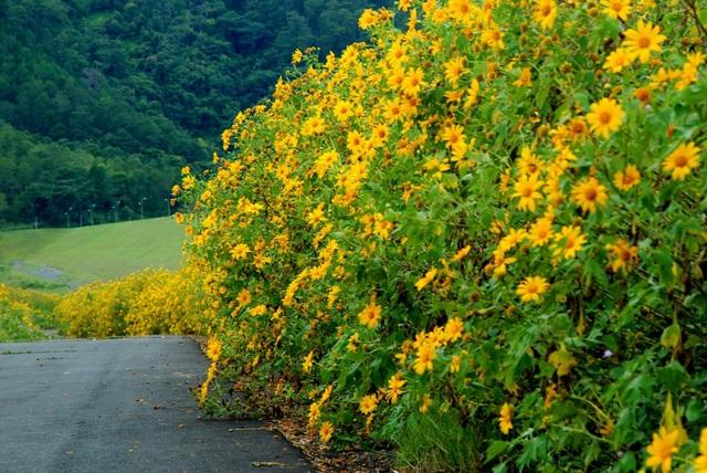 Hoa dã quỳ đẹp giản dị, đẹp thanh tao như cái tên trang nhã mà người ta dành đặt cho nó.(Ảnh: dalattrongtoi)