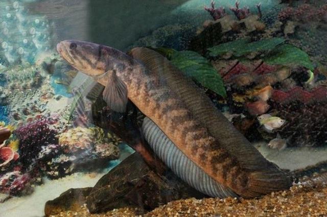 Cá tràu có thân tròn và sinh sống trong hang đá.