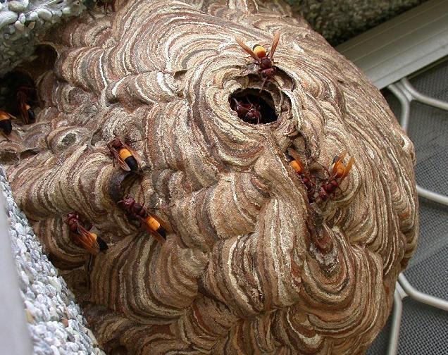 Người đi săn phải khống chế cửa chính để bắt trọn đàn ong.