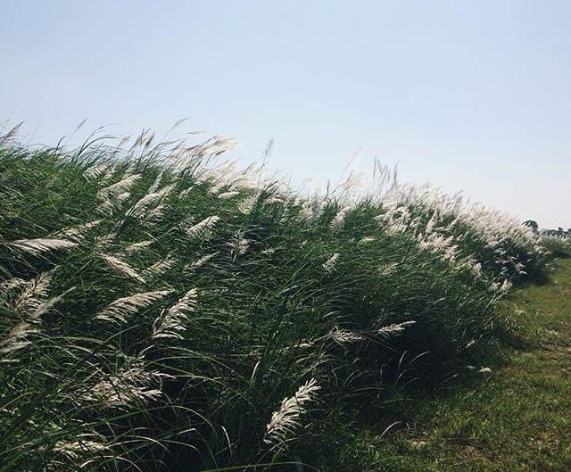 Lau là loài cây thân cỏ, có sức sống vô cùng mạnh mẽ. (Ảnh: firefly208)