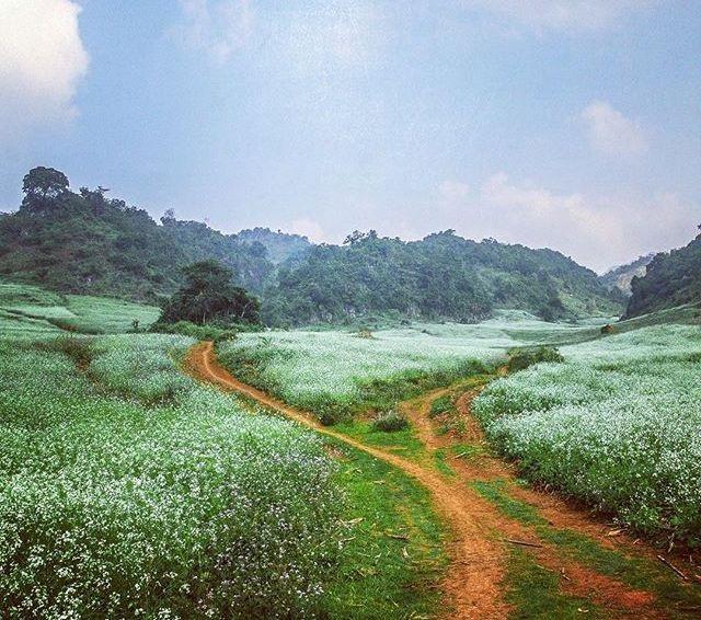 Con đường hoa cải thơ mộng ở Mộc Châu. (Ảnh: redlunna)