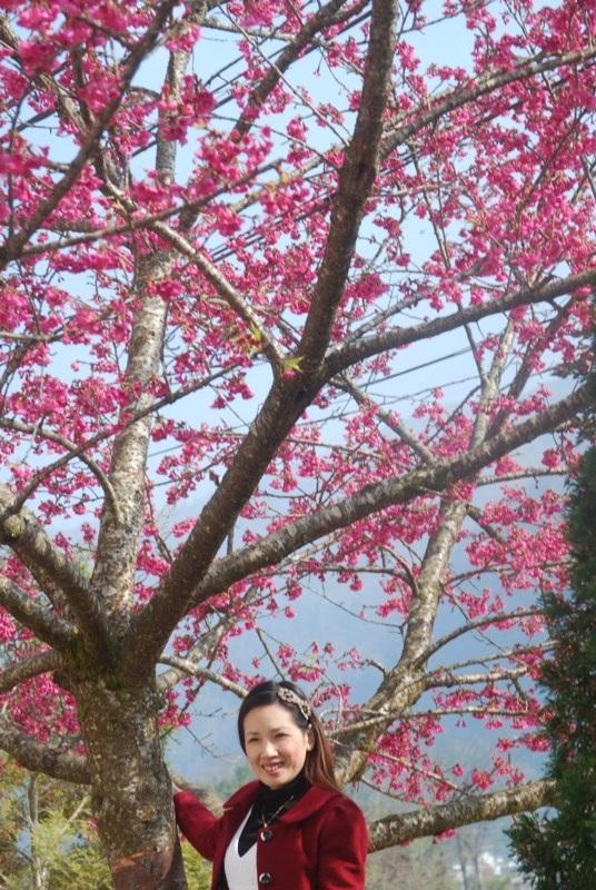 Lên Sa Pa ngắm hoa anh đào Nhật Bản khoe sắc hồng tuyệt đẹp - 7