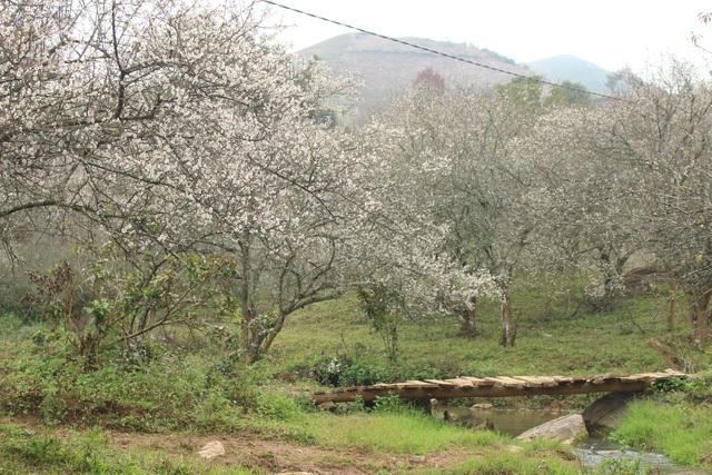 Khác với hoa mận, hoa mơ thường nở sớm, các cánh hoa tròn đều, nhị phớt hồng. (Ảnh: Quang Huy)