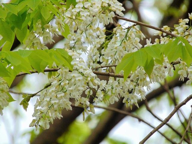 Những bông hoa trắng nhỏ li ti có sức hút mãnh liệt với những người đam mê nghệ thuật. (Ảnh: H.N)