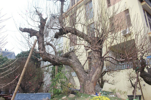 """Khi được tận mắt chứng kiến gốc đào rừng quý hiếm có tuổi đời lên đến 60 năm của anh Hoàng Hoan (Phú Thượng, Tây Hồ), nhiều người đã không khỏi """"choáng ngợp"""". Gốc đào to khoảng 60cm, chia thành 3 nhánh lớn xù xì và được đặt tên là """"Long vờn"""". Chủ nhân cây đào giải thích, 3 nhánh ấy giống như 3 con rồng đang cuộn vào nhau, cùng vui đùa trên mây. Ngoài ra, anh Hoan còn rất tự hào về hai cây đào thế """"Long quấn thủy"""". Tất cả các gốc đào này đều được anh đích thân mang về từ nhiều vùng núi xa xôi, hẻo lánh ở các tỉnh phía Bắc. (Ảnh: H.N)"""