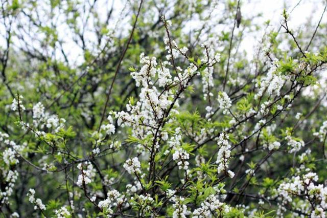 Hoa mận là loài hoa đặc trưng của Mộc Châu mà không nơi nào có được. (Ảnh: H.N)