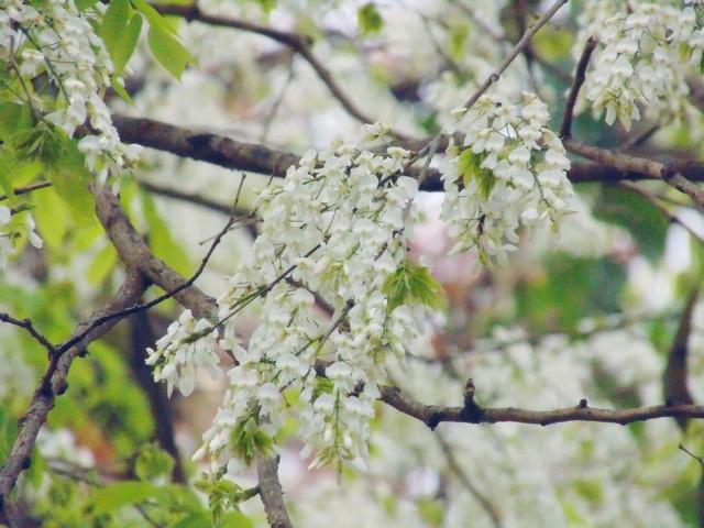 Không rực rỡ như hoa phượng, không kiêu kỳ như violet, sưa chọn cho mình sắc trắng, tinh khôi, nhẹ nhàng. (Ảnh: H.N)
