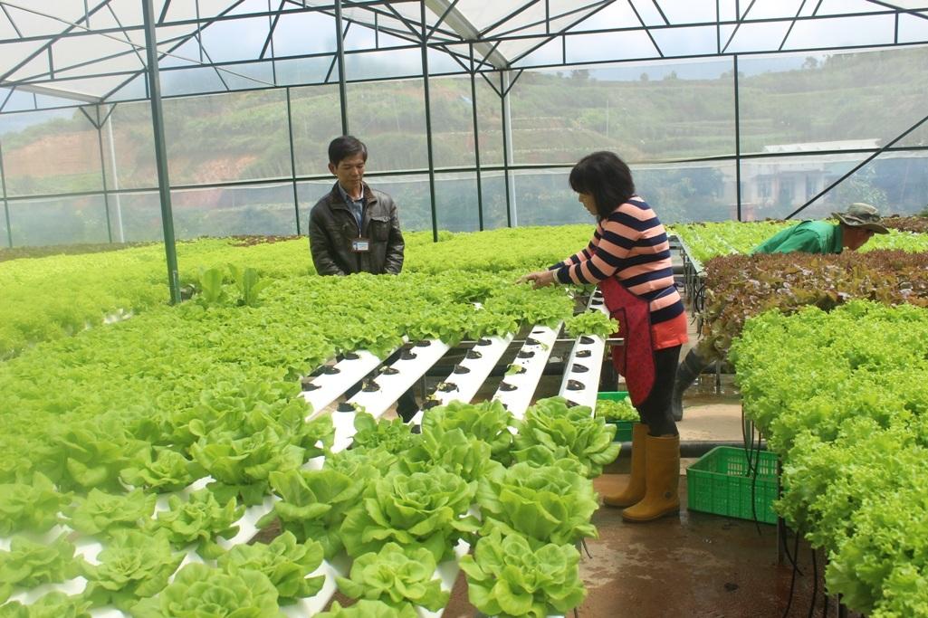 Sản xuất rau ứng dụng công nghệ cao tại Lạc Dương (Lâm Đồng)