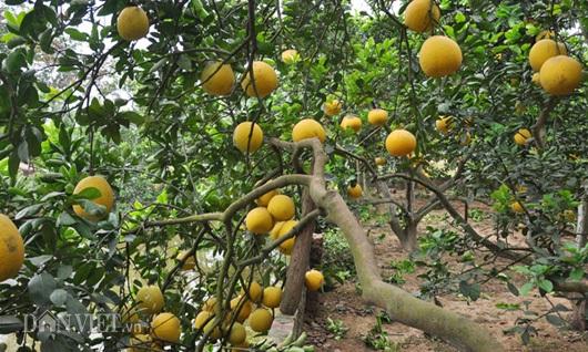 """Những vườn bưởi tôm vàng sai trĩu quả vàng óng đã """"có chủ""""."""