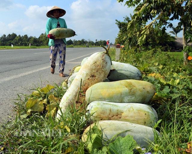 """Những trái bí đao """"khủng"""" được nông dân thu hoạch có trọng lượng gần 20kg."""