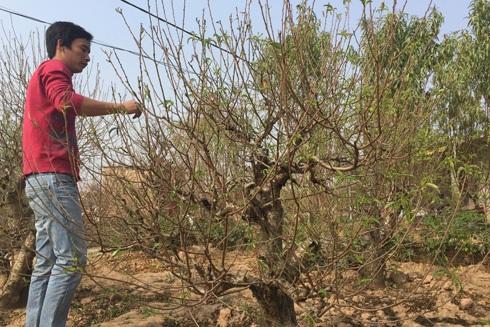 Cả vườn đào Nhật Tân đang ngóng gió đông giúp đào bật nụ