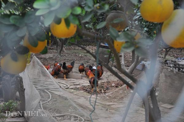 Nhiều chủ vườn còn chăn thả gà dưới tán bưởi để tạo thêm thu nhập.