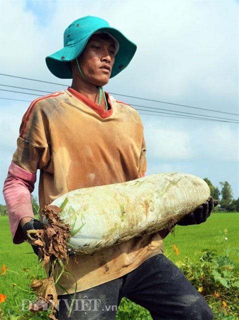 Bí đao bung có thịt xốp, mỗi trái có trọng lượng trung bình từ 10-12kg.