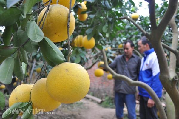 Vào thời điểm này, các nhà vườn bưởi ở xã Thượng Mỗ đang tấp nập đón khách vào mua bưởi.