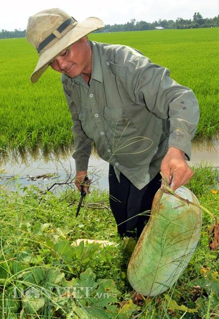 Gia đình ông Phúc đang thu hoạch bí đao bung phục vụ thị trường làm mứt Tết Nguyên đán 2017.