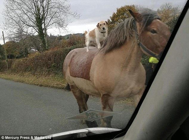 """Kỳ dị cảnh """"chó cưỡi ngựa"""" - 1"""