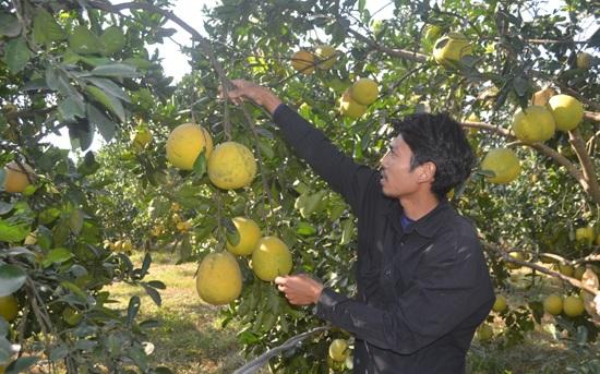 Mô hình trồng bưởi Diễn của anh Nguyễn Hải Sơn, xã Nam Phương Tiến, huyện Chương Mỹ cho hiệu quả và kinh tế cao. Ảnh: Ánh Ngọc.