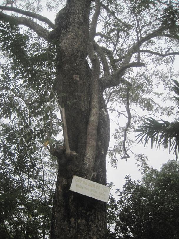 Cây sưa 200 năm tuổi ở đình làng Đông Cốc.