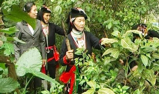 Người Dao tự mình lên núi tìm các vị thuốc.