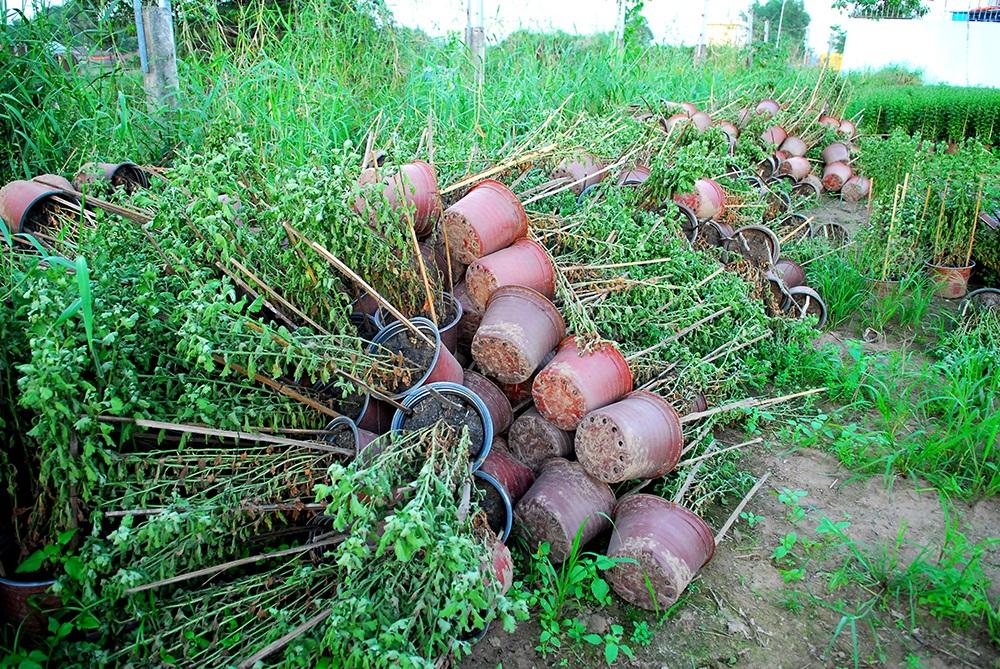 Hoa tết không kết nụ, nông dân xót xa vứt bỏ hàng nghìn chậu - 1