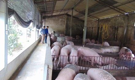 Trang trại lợn của anh La Văn Thành cho thu nhập hàng trăm triệu đồng mỗi năm.