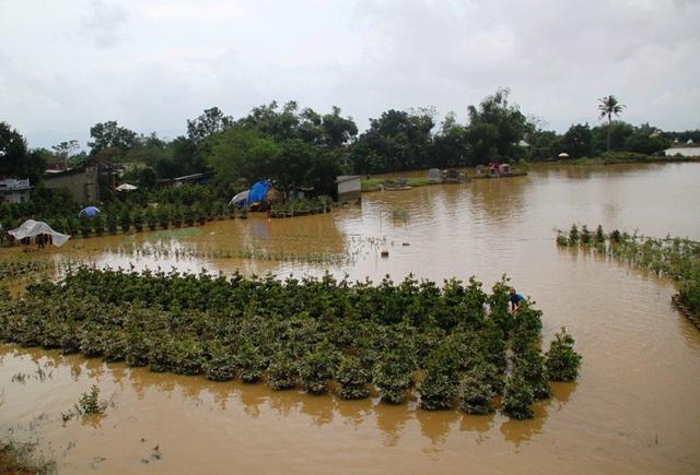 Hầu như tất cả các vườn mai ở xã Nhơn An (thị xã An Nhơn, Bình Định) bị nhấn chìm trong nước lũ