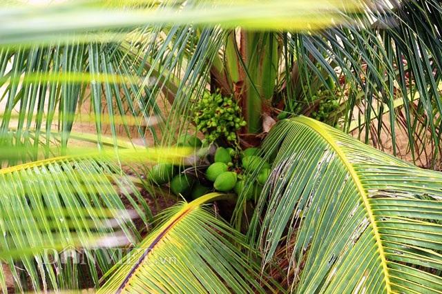 """""""Quá đã"""" vườn dừa xiêm lùn siêu ngọt trĩu trái nằm sát biển - 1"""