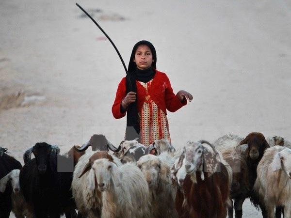 Một em nhỏ Palestine chăn cừu tại khu vực Al-Nusirat ở Dải Gaza. (Nguồn: EPA/TTXVN)