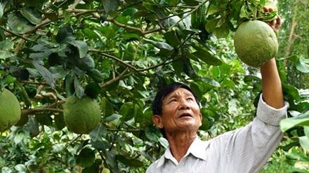 Ông Lương Tuyển trong vườn bưởi da xanh ở trang trại của ông.