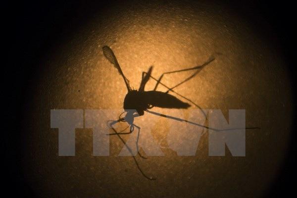 Muỗi Aedes aegypti dưới kính hiển vi tại Viện nghiên cứu Fiocruz ở Recife, bang Pernambuco, Brazil. (Nguồn: AP/TTXVN)