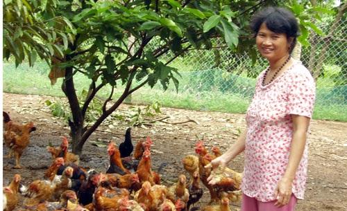 Nông dân ở ấp 7 (xã Bình Sơn, Long Thành, Đồng Nai) đang nỗ lực chăm sóc đàn gà ta với hy vọng tết này có nguồn lợi lớn. Ảnh: T.T