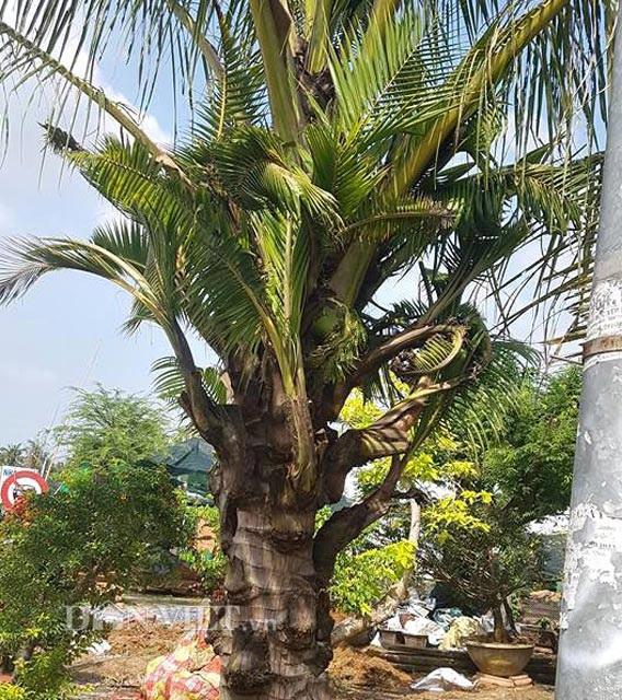 Dừa trổ ra cây con siêu lạ ở Bến Tre - 1