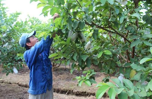 Anh Nguyễn Đình Đồng kiểm tra vườn ổi trái vụ sắp được thu hoạch. Ảnh: P.H
