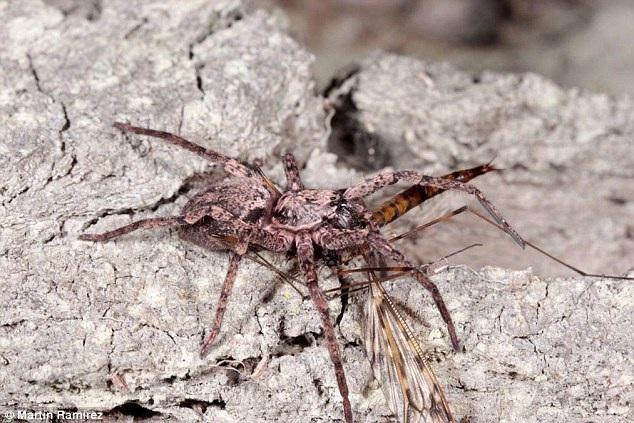Loài nhện ma mới phát hiện tạo bóng từ tơ và bay qua đại dương.