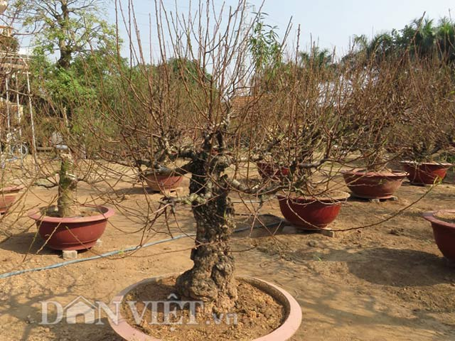 Một góc vườn đào thế 300 cây của ông Đỗ Văn Lan.