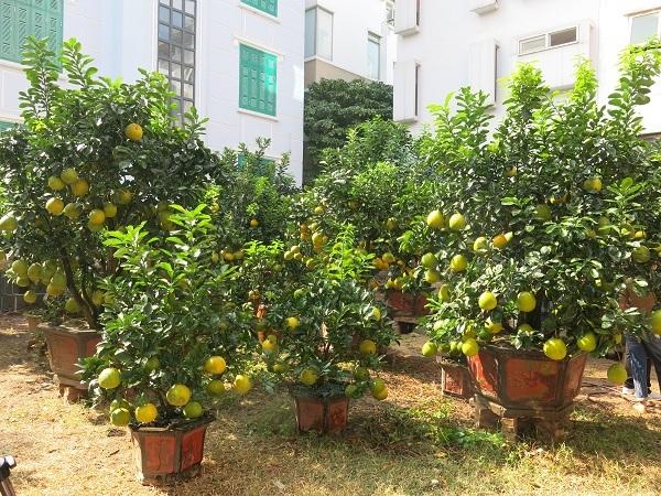 Anh Kim Thắng - một chủ nhà vườn cho biết, những cây bưởi cảnh nhà anh được trồng từ gốc bưởi Diễn. Muốn bưởi cảnh phát triển tốt phải chọn những gốc bưởi từ 4 - 5 năm tuổi.