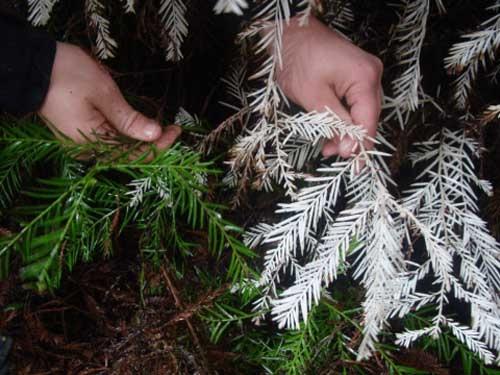 Nhà sinh vật học Zane Moore so sánh loài gây gỗ hồng bình thường và bạch tạng.