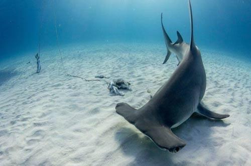 Bị phạt tù vì đấm cá mập đầu búa - 1