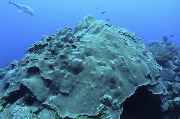 Lý giải khả năng san hô sống sót khỏi thảm họa môi trường - 1