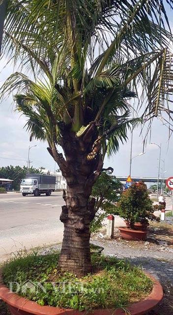 Dừa trổ ra cây con siêu lạ ở Bến Tre - 2