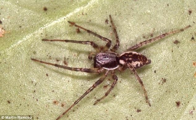 Phát hiện 3 loài nhện ma bay cả trăm kilomet trên biển - 2