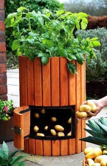 Một cách trồng khoai tây sáng tạo, việc chọn lựa lấy những củ to ăn trước thật dễ dàng và thuận tiện